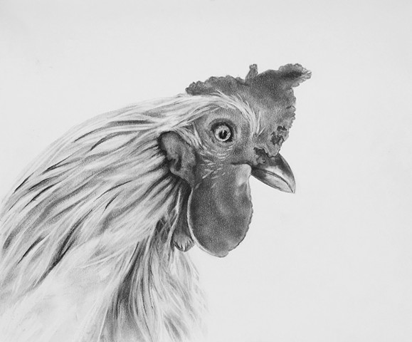 Charcoal drawing of a Rooster by Kandy Stern.