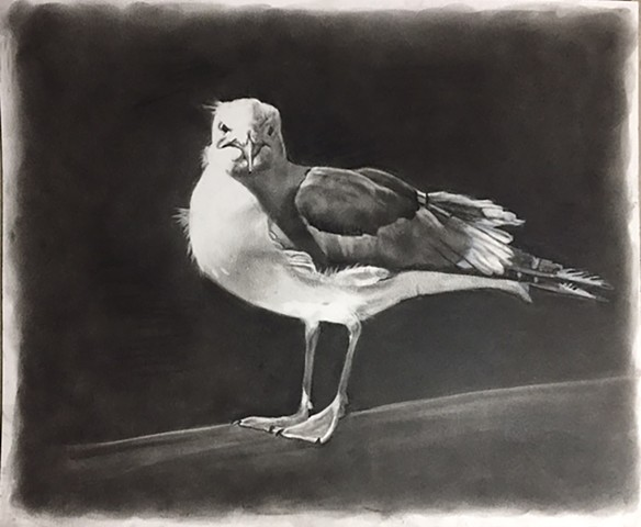 Charcoal drawing of a seagull by Kandy Stern.