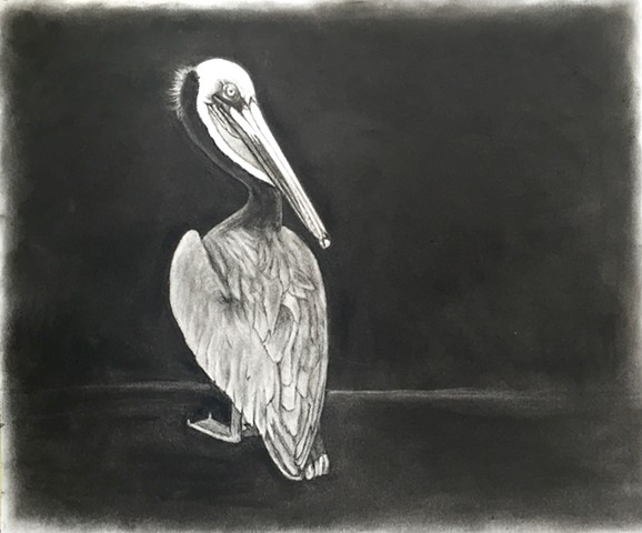Charcoal drawing of a pelican by Kandy Stern.