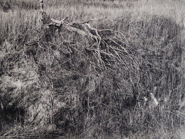 Fallen elm tree in very early sprint in Afton State Park, Minnesota. One-plate polymer photogravure intaglio print on tiepolo paper.