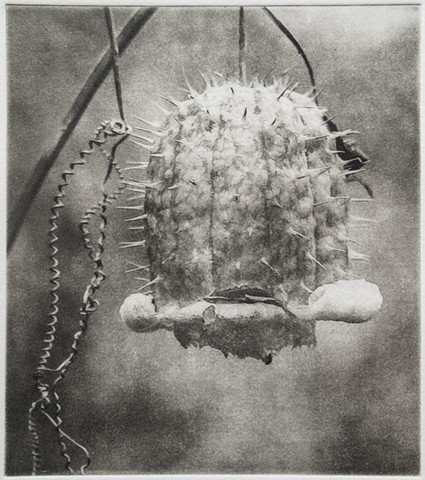 The prickly pod of a wild cucumber just after it's expelled its seeds. Polymer photogravure one-color print by John Pearson.