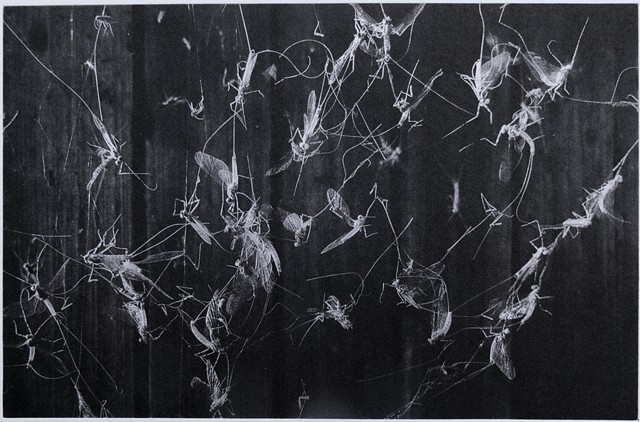 Mayflies caught in a spider's web are bright against a dark woodshed wall. Polymer photogravure print by John Pearson