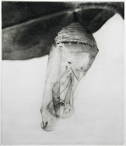 An empty monarch chrysalis remiains suspended from a leaf. Polymer photogravure by John Pearson.