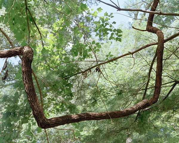 photograph of a thick vine in a tree, rephotography