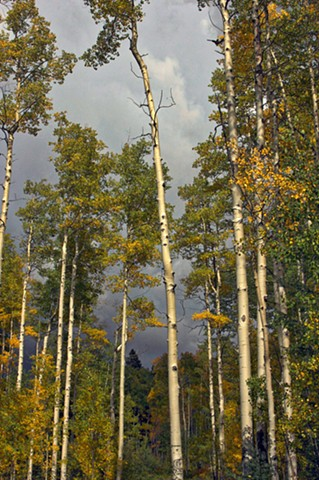 Quaking Aspens Before Storm