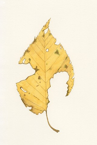 Black Birch Leaf