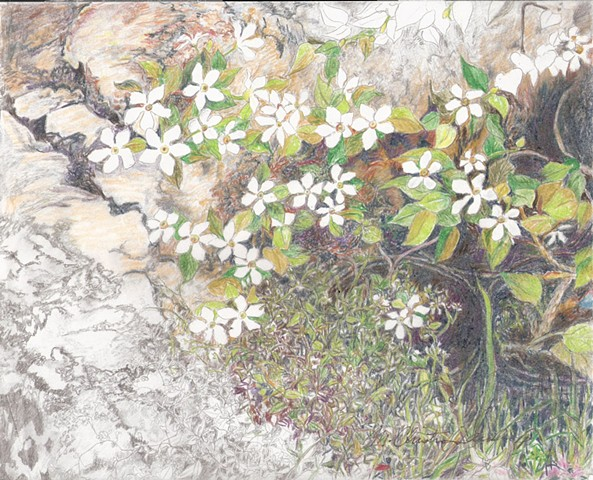 graphite and colored pencils drawing of snowdrop flowers in a rock garden by M Christine Landis