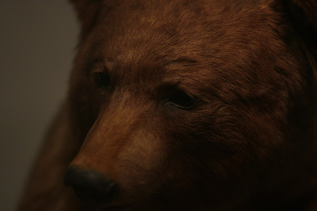 North American Brown Bear II