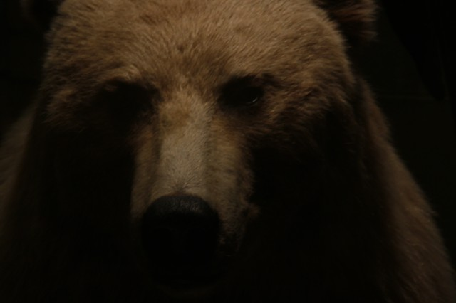 North American Brown Bear I