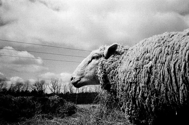 SHEEP FRIEND I, 35mm
