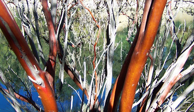 Manzanita trees, Napa, California, Carol Procter photographs.