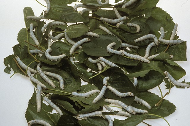 HUNGRY SILKWORMS