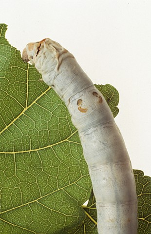 SILKWORM MUNCHING MULBERRY LEAF