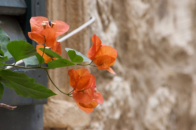 Orange Flowers in Dubrovnik