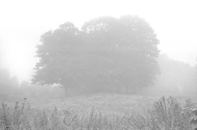 Haydenville Tree Clump in the Fog Early Morning  by ELAINE MAYES