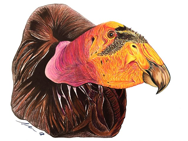 Fine art colored pencil drawing of endangered California condor by Alyson Dana Singer