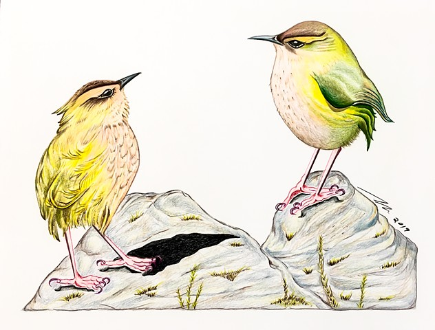 Fine art colored pencil drawing of endangered NZ Rock Wrens by Alyson Dana Singer