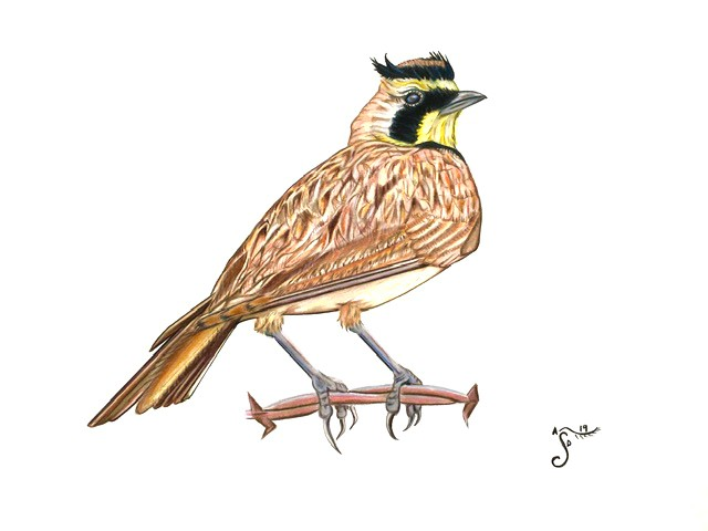 horned lark, grassland bird, threatened birds, bird drawing