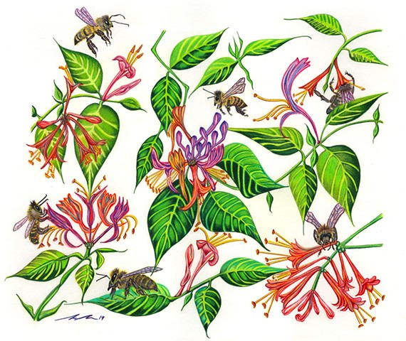 honeybees, apis mellifera, honeysuckle, botanical drawing, botanical illustration