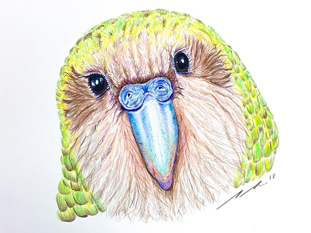 Fine art colored pencil drawing of endangered New Zealand Kakapo by Alyson Dana Singer