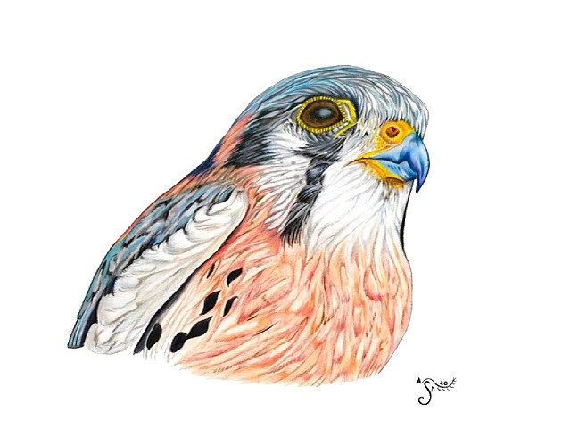 american kestrel, bird portrait, scientific illustration, avian illustration, falcon, drawing