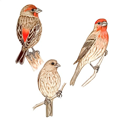 house finches, drawing, illustration