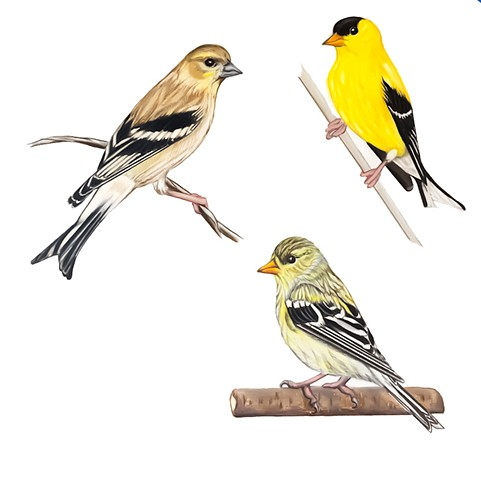 american goldfinch, drawing, illustration, bird illustration