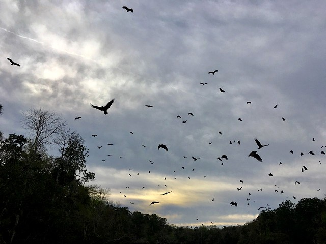 Turkey vultures on the Chaz River, FL