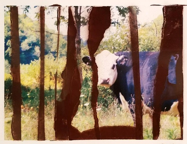 Cow in Summer