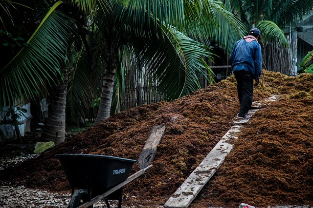 Raul* walks up a makeshift ramp atop a mass of rotting seaweed in the jungle in Tulum, Mexico. The local workers first fill their wheelbarrows from the beach, then proceed across the road, through the jungle, and finally to the massive pile.