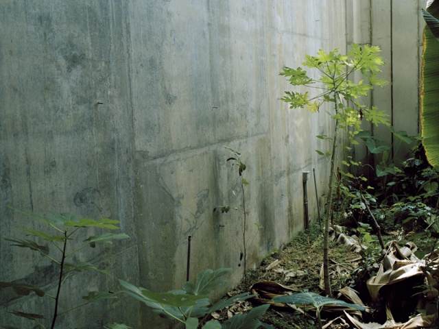 Ficus carica Specimen with Retaining Wall and Paretrechina