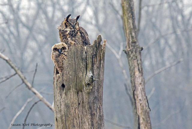 Great Horned Owls Susan Kirt