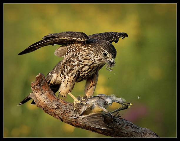 Merlin munching on a Cedar Waxwing Michael Kobe