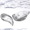 Zebra Mussel Drawing Detail