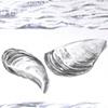 Zebra Mussel Drawing Detail