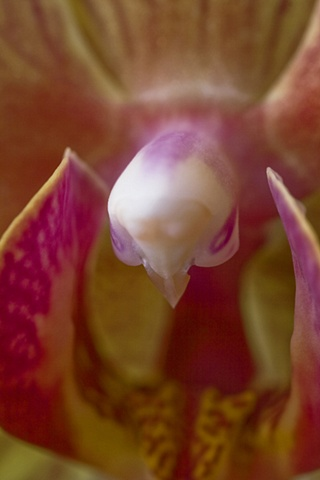 Macro Orchid 4