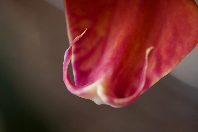Macro Orchid 5