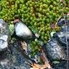 Moss on Pudding Stone