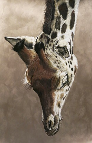 Bronze, Giraffe, charcoal and pastel drawing
