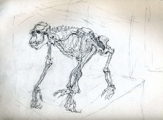 anatomy skeleton drawing of a chipanzee