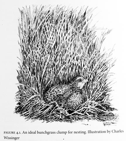 Quail Drawing, 2009 TAMUK