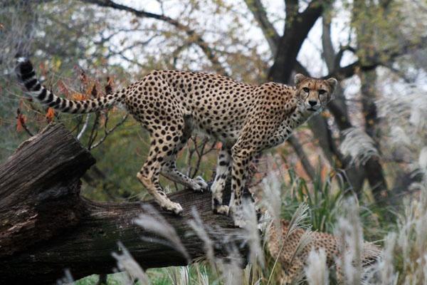 Cheetah #2