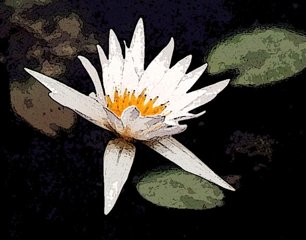 waterlily, water lily, water plants, flora, flowers, white flowers