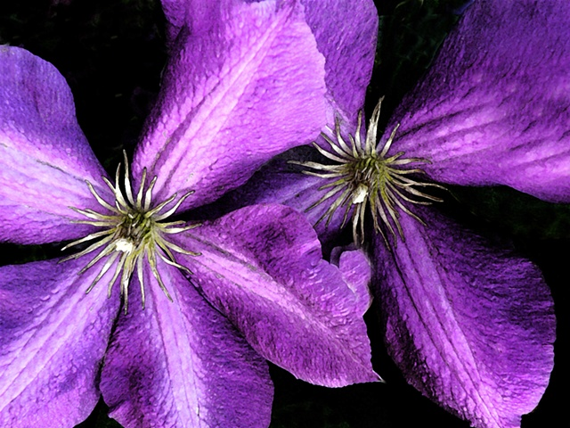 clematis, purple flower, flora, flowers, vining flowers, purple vining flowers