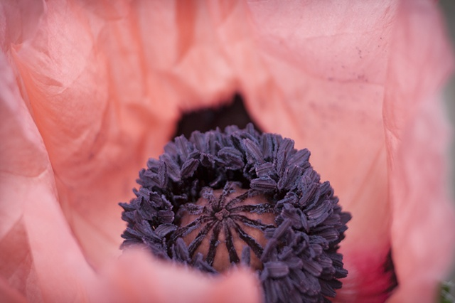 Pink Abstract Poppy