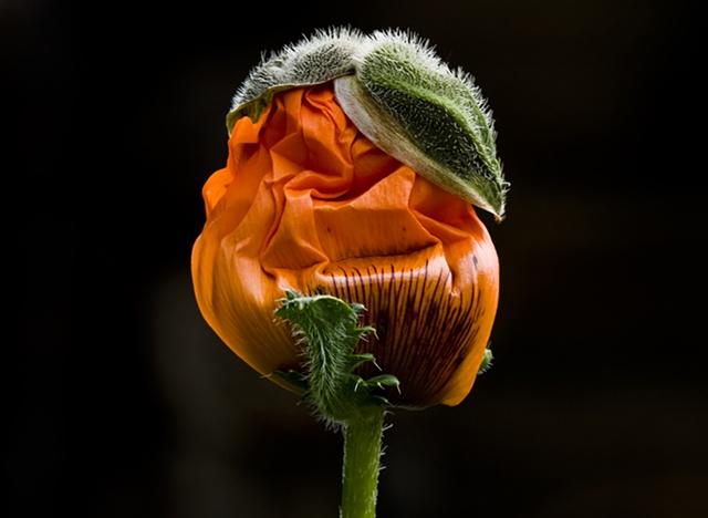 Madcap Poppy
