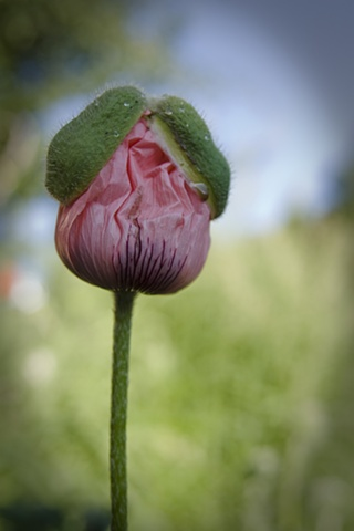 Pink Poppy with Hat