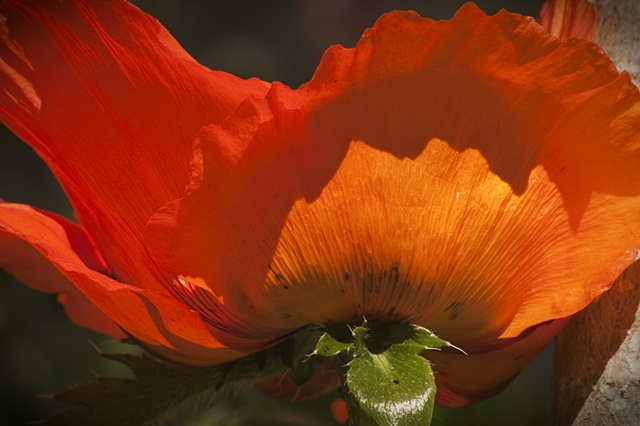 Sunrise Poppy