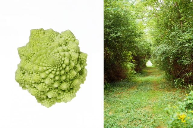 Romanesco cauliflower / Path, Martha's Vinyard, Ma.
