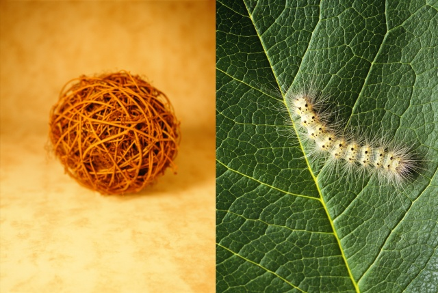 Vineball / Caterpillar on leaf